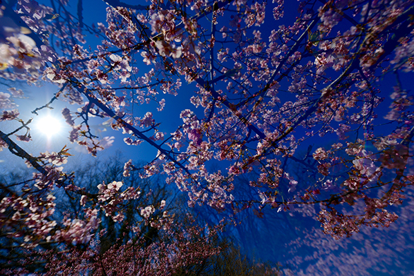 多田正美「二十四節気 「早咲き桜」」